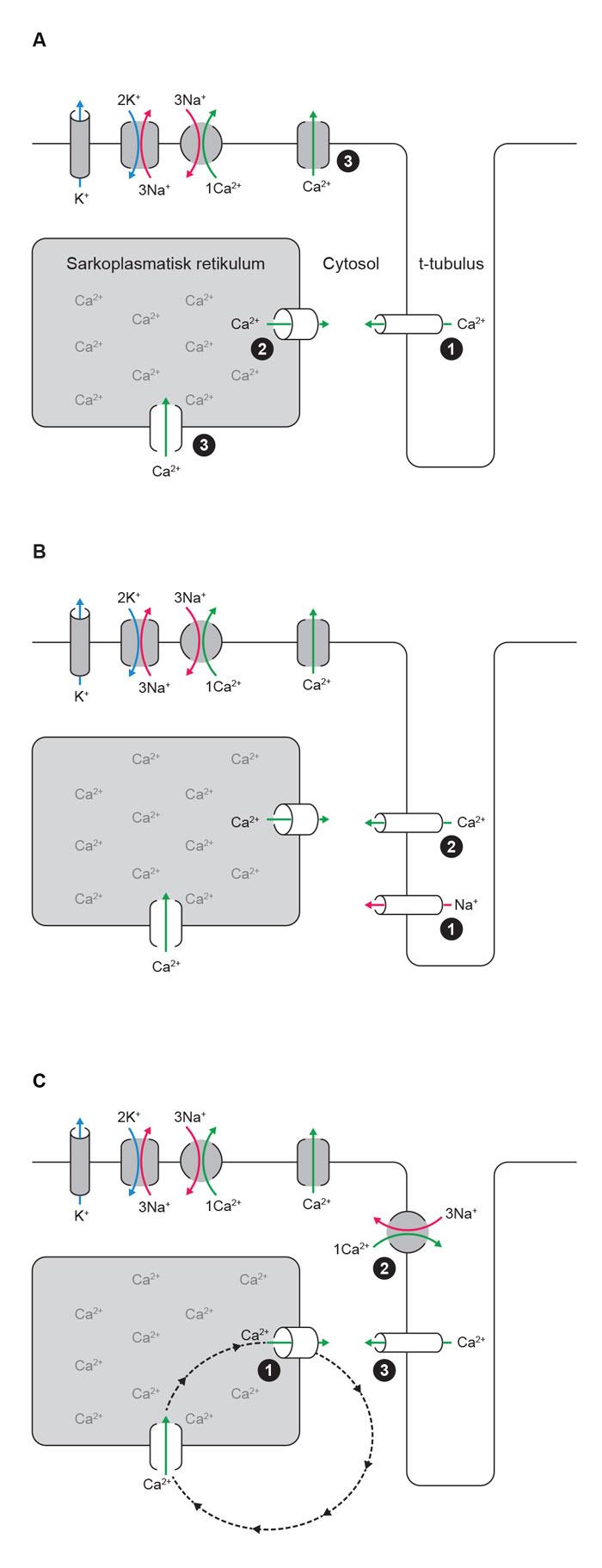 Figur 2. A) Hovedkomponenter i normal ionesyklus i ventrikkelmuskelceller. 1. Ved depolarisering av cellemembranen åpner L-type Ca2+-kanal og slipper en liten mengde Ca2+ inn i cytosol. 2. Ca2+ binder til Ca2+-frislippskanalen RyR2, som dermed åpner og slipper en større mengde Ca2+ ut i cytosol. Ca2+ binder til myofilamentene og leder til kontraksjon. 3. For relaksasjon tas Ca2+ tilbake opp i det sarkoplasmatiske retikkelet og pumpes ut av cellen. B) Automati ved ivabradin-følsom «funny current», også kalt «pacemakerstrøm». 1. Pacemakerstrømmen leder kationer inn i cellen og leder til langsom depolarisering av cellemembranen inntil 2. terskelverdien for aksjonspotensialet nås, f.eks. ved aktivering av L-type Ca2+ kanal. C) Automati ved «Ca2+-klokke». 1. Ca2+ lekker fra det sarkoplasmatiske retikkelet, og 2. utveksles med Na+. Dette medfører en netto innstrømming av positive ladninger i cellen og kan til slutt 3. depolarisere cellen tilstrekkelig til aktivering av f.eks. L-type Ca2+-kanal. Frekvensen av slik aktivering vil avhenge av frigjøring og reopptak av Ca2+ i det sarkoplasmatiske retikkelet (stiplet sirkel) (Ill.ved A. K. Stokke 2015).
