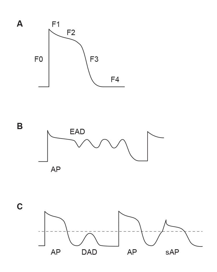 Figur 3. Trigget aktivitet. A) Fasene i ventrikkelcellenes aksjonspotensial. B) Tidlige etterdepolariseringer (early afterdepolarisations, EADs) oppstår typisk ved forlenget aksjonspotensial i fase 2 eller 3. C) Sene etterdepolariseringer (delayed afterdepolarisations, DADs) oppstår i fase 4 og kan utløse aksjonspotensialer hvis de når terskelverdien (stiplet linje). (Ill. ved A. K. Stokke 2015).
