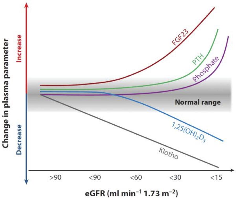 Figur 1 Foreslått tidsprofil for endringer i mineralstoffskiftet i relasjon til nyrefunksjon. Gjengitt fra Annual Review of Physiology 2013 [13]. Gjengitt med tillatelse.