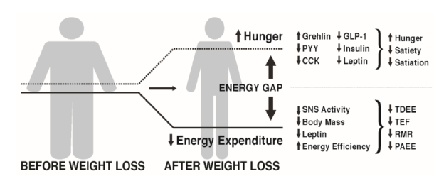 Figur 1. Several biological adaptions to the weight reduced state try to bring body weight back to its origninal state.  Fra Melby et al, Compensatory mechansims. Nutritents 2017