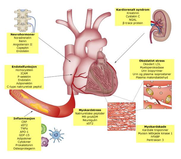 Figur 1. Kardiovaskulære biomarkører gruppert i henhold til patofysiologiske prosesser. Oversatt og omarbeidet med tillatelse fra Ahmad et al. Novel biomarkers in chronic heart failure. Nat Rev Cardiol. 2012 Mar 27;9(6):347-59. Trykkes med tillatelse.