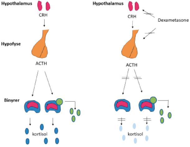 Figur 2. Produksjon av kortisol fra binyrebarken stimuleres vanligvis av CRH fra hypothalamus, og ACTH fra hypofysen. Ved tilstrekkelig kortisol tilstede undertrykkes denne stimuleringen. Når man inntar dexametason vil kroppen oppleve å ha tilstrekkelig kortisol, og produksjonen av CRH og ACTH undertrykkes. Et adenom i binyren med autonom kortisolsekresjon er imidlertid uavhengig av denne overordnede kontrollen, og hemmes ikke av dexametason. Figur av Bjørn G. Nedrebø, modifisert og gjengitt med tillatelse.